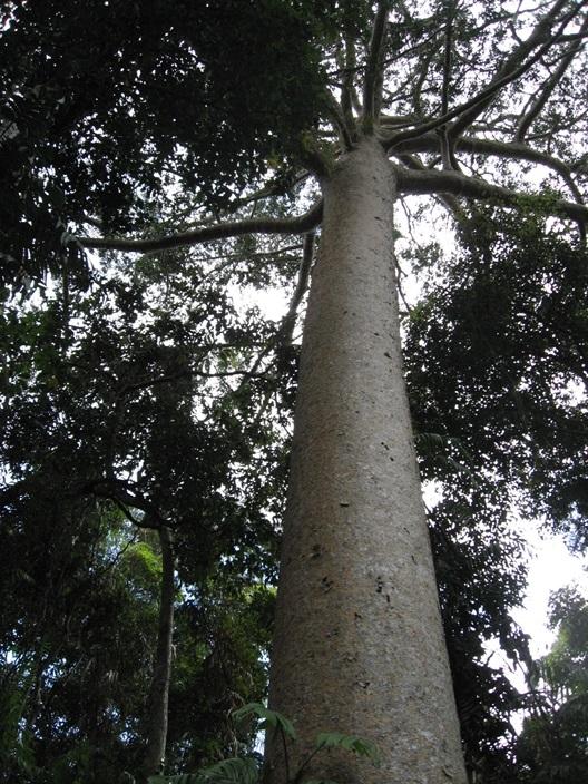 ケアンズ,キュランダ,熱帯雨林,ボードウォーク