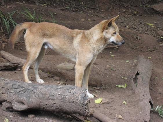 キュランダの狼