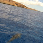 ハワイ3日目 野生のイルカに遭遇 イルカと私